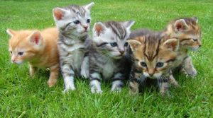 סאמיט לחתולים,