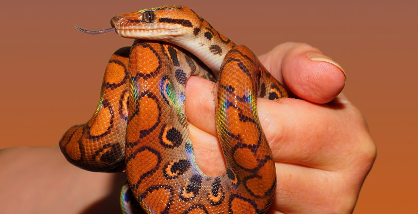 person-holding-red-and-black-snake-34426